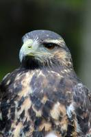 Juvenile Black Chested Buzzard Hawk