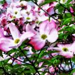 """Pink Dogwood Blossoms"" by susansartgallery"