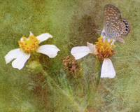 Eastern Pygmy Blue Butterfly Art