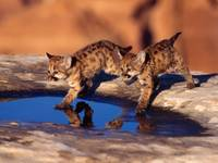 Cougar Cubs Reflections In The Wild