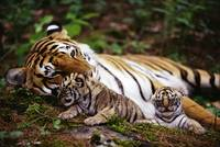 Mom Bengal Tiger Rests With Her Baby Tiger Cubs