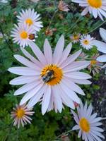 Bumble Bee and Daisy