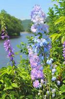 Blue Flowers on the Bridge Of Flowers