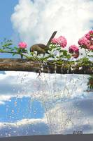 Bird, roses, water fountain