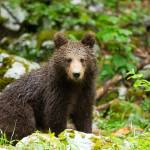 """One year old Brown Bear in Slovenia"" by IanMiddletonphotography"