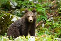 One year old Brown Bear in Slovenia