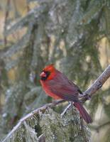 Male Cardinal Perched On Frozen Evergreen by Bill