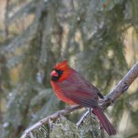 Male Cardinal Perched On Frozen Evergreen by Bill Art Prints & Posters by Bill McAllen
