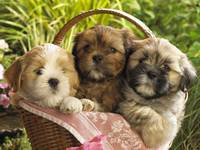 3 Cute Terrier Puppies Sit In A Basket