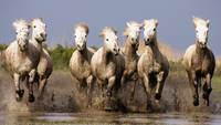 Stampeding Through The Mud; Wild White Horse Herd