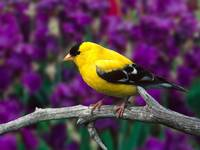 American Goldfinch Bird Rests On A Branch US