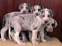 Four Adorable Dalmation Puppies Pose For A Picture