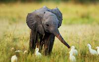 Baby Elephant Plays With White Cranes