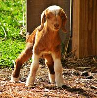 Cute Baby Goat Can Just Barely Stand And Walk