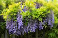 A Wealth of Wisteria