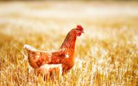 Brown Hen Chicken Walks The Farm Grounds