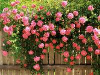 Climbing Pink Roses On A Wooden Picket Fence
