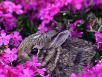 Cottontail Bunny Rabbit Nibbles On Pink Flowers