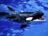 Cute Killer Whale Baby Swims In The Water Blue
