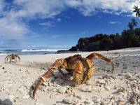 Crusty Crabs Emerge From The Sea, Hawaii US