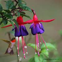 Hummingbird and Fuchsia