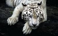 Dangerous Blue Eyed White Tiger Prepares To Strike