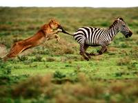 Attacking Female Lion Races After Her Zebra Prey