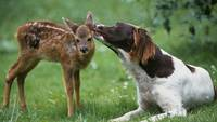 Baby Fawn Deer Gets ASweet Sloppy Puppy Kiss