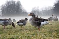 Ducks Walk In The Early Morning Mist By The River