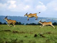Graceful Jumping Gazelles,  Africa