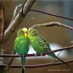 """Parakeet Love"" by EdmondHogge"