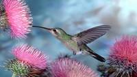 Hummingbird Drinks Nectar From Pink Flowers