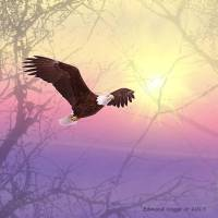 Eagle in flight Art Prints & Posters by Edmond Hogge