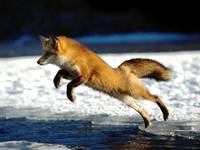 Red Fox Jumps From The Sea