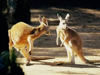 Kangaroo Encounter, Austraila