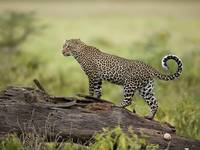 Leopard Climbs Higher Searching For Prey, Africa