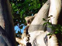Koala Bear Sleeps On A Tree Branch, Australia