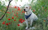 Loyal Labrador Retriever Smells Red Poppy Flowers