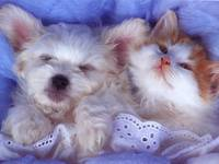Orange Kitten and WhiteTerrier Puppy Snuggle Under