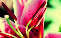 Pink Lily Magnified