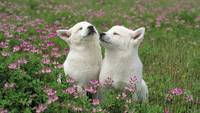 White Terrier Puppies Love To Sniff The Flowers