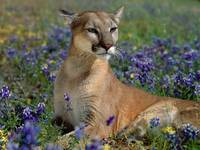 Purple Lavender Flowers Surround Dangerous Cougar