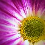 """Coloured Daisy"" by brianraggatt"