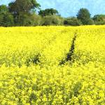 """RapeSeedField watercolour"" by brianraggatt"