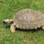 """Amazon River Turtle Crawling on Grass"" by rhamm"