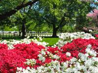 Capitol Garden Azaleas in bloom