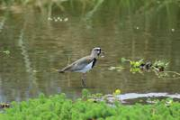 Southern Lapwing in Water