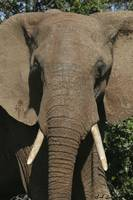 Elephant Closeup.Frontal