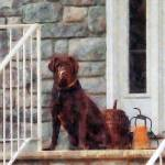 """Chocolate Labrador on Porch"" by susansartgallery"