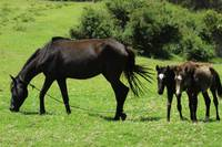 Mare and Colts in a Pasture